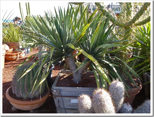 120208_CactusJungle_Dracaena-draco_01
