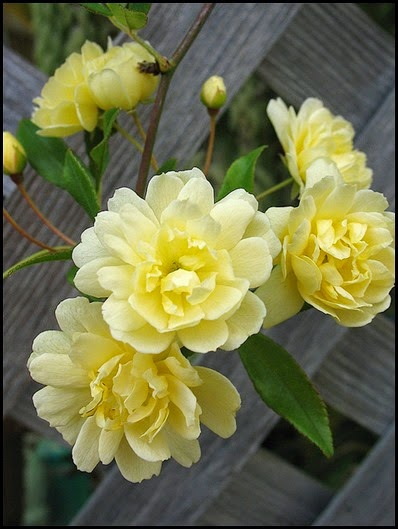yellow lady banks rose6