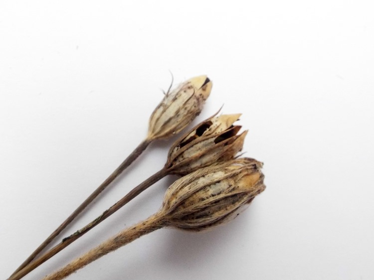 wildflower husks