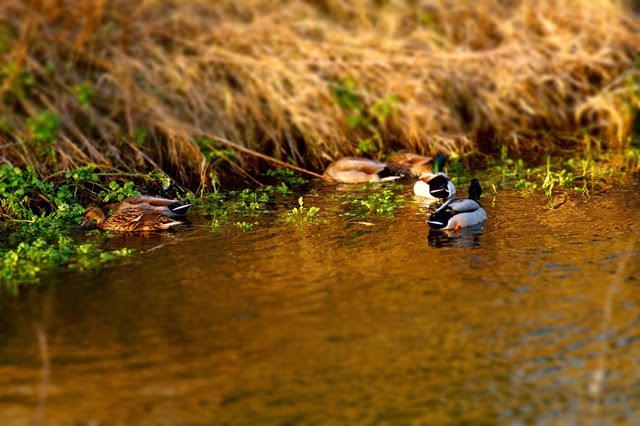 tilt/shift ducks