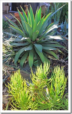 130601_Senecio-vitalis- -Agave-Red-Margin