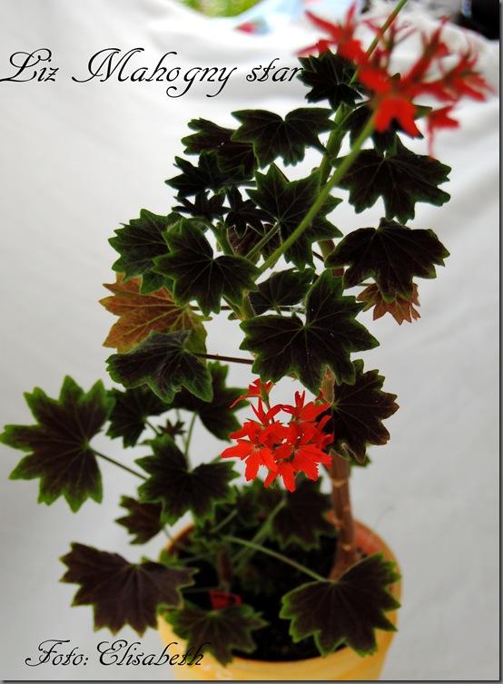 Pelargonium juni-11 030
