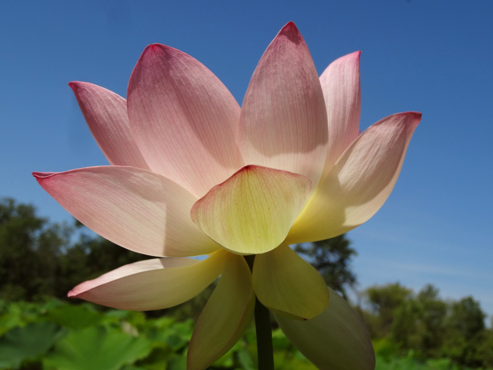 Poem On Lotus Flower Gallery Flower Decoration Ideas