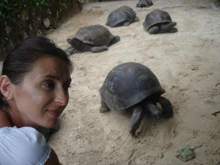 Colonia de broaste testoase gigant - Gradina Botanica Victoria Seychelles.JPG