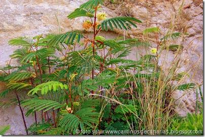 2056 Bosque Faya-Brezal(Mimosa australiana)