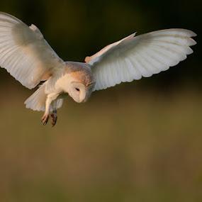 Barn Owl by Howard Kearley - Animals Birds