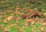 Nusskumpel / Eichhörnchen