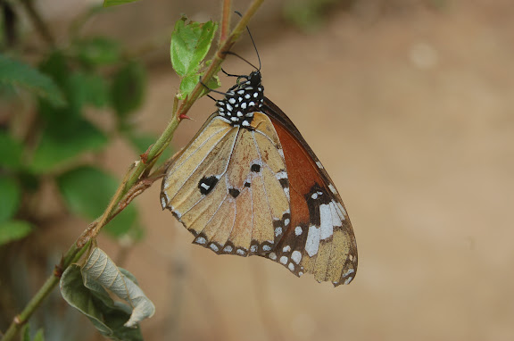 Danaus chrysippus L., 1758. Entre Maevatanana et Antananarivo, 6 février 2011. Photo : T. Laugier