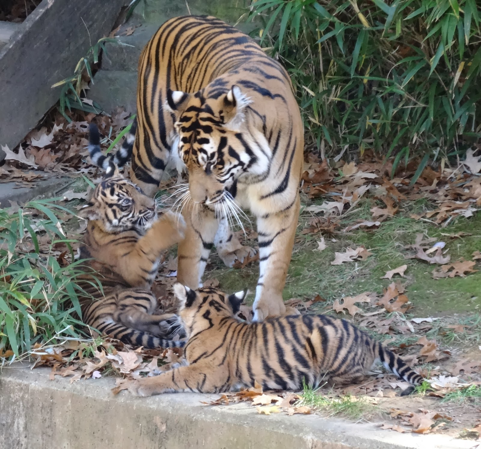 Love joy and peas cute tiger cubs playing photos cute tiger cubs playing photos altavistaventures Gallery