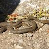 Caspian whipsnake (Έφιος)