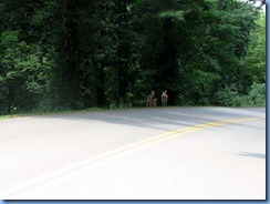 0958 Virginia - Blue Ridge Parkway North - white-tailed doe & 2 fawns