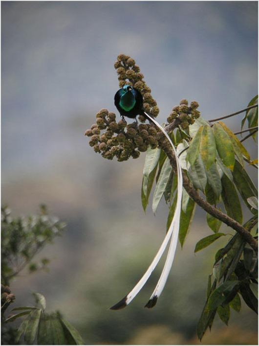Тим Ламан: Тайны райских птиц clip_image016
