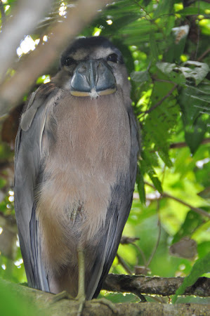 Fauna Costa Rica: Boat-billed Heron
