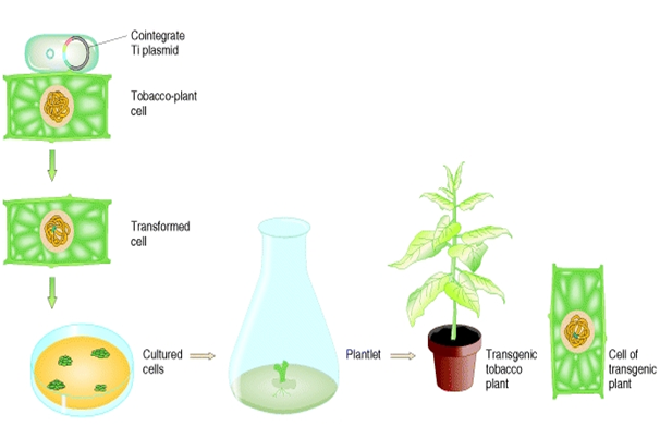Transformation of tobacco plant using Cointergrate vector