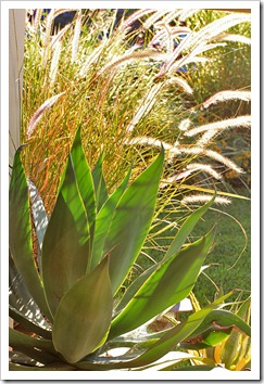 120815_Agave-Blue-Flame