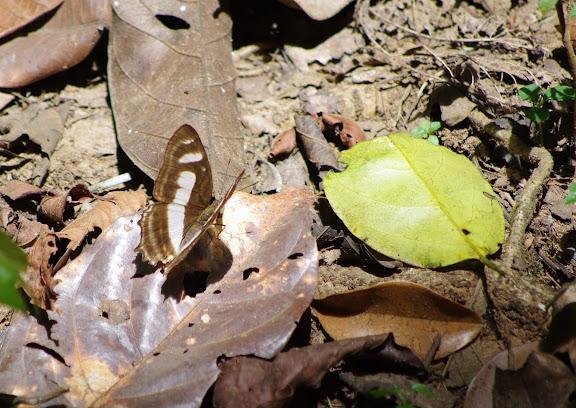 Metamorpha elissa HÜBNER, 1819. Crique Cochon, sur le sentier de Popote (Saül), 16 novembre 2012. Photo : J.-M. Gayman