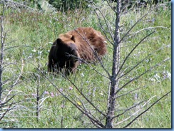 1321 Alberta Red Rock Parkway - Waterton Lakes National Park - a grizzly bear