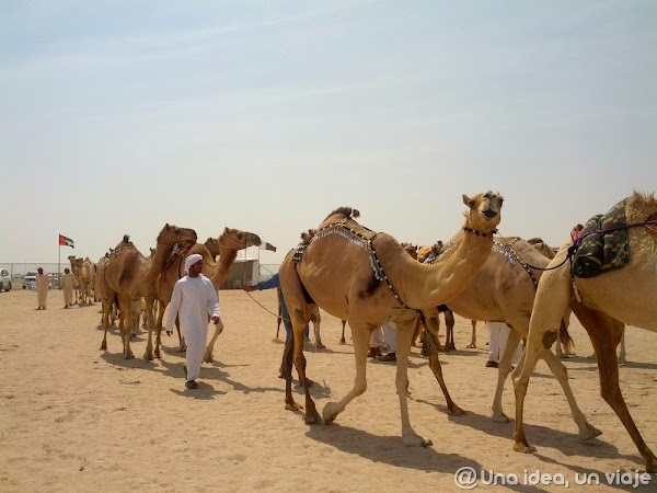 Qatar-Doha-Camellos-7.jpg