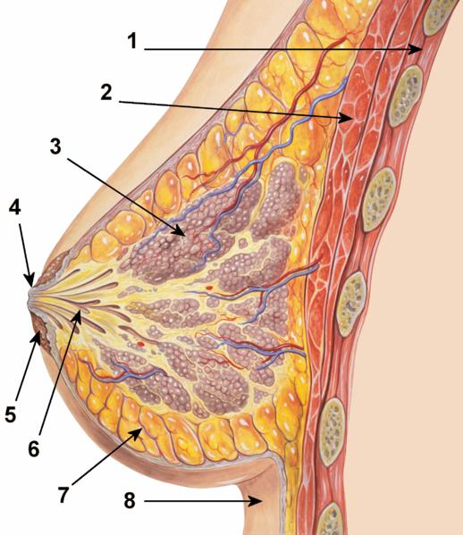 Rinnan fysiologia