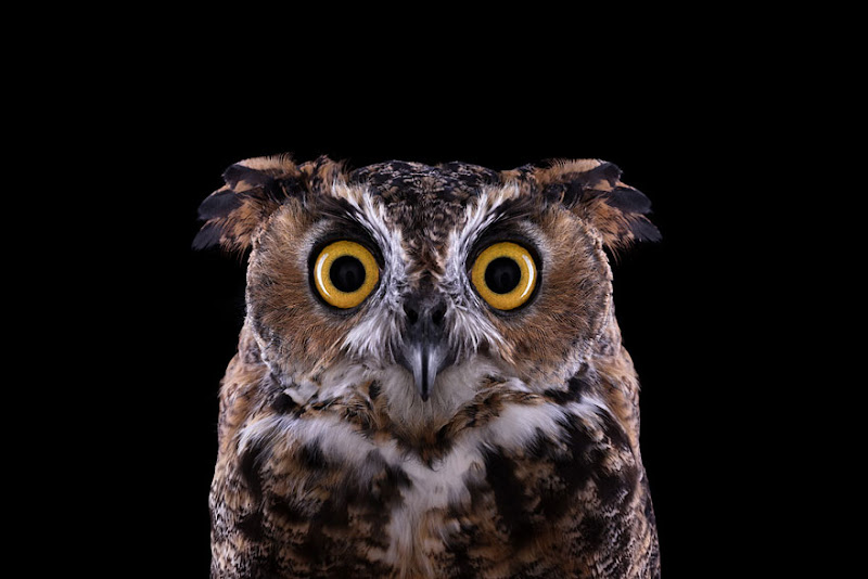 animal-photography-affinity-Brad-Wilson-great-horned-owl-2.jpeg