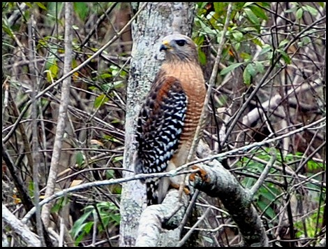 08 - Animals - Red Shouldered Hawk 3