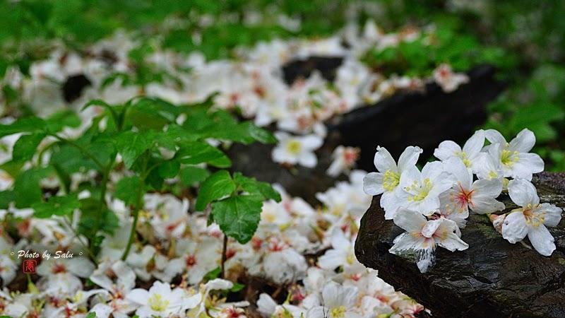台北 宜蘭 油桐花 五月雪 今