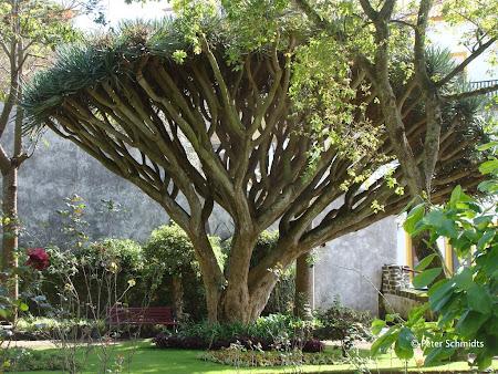 Obiective turistice Azore: Arbore dragon in Azore