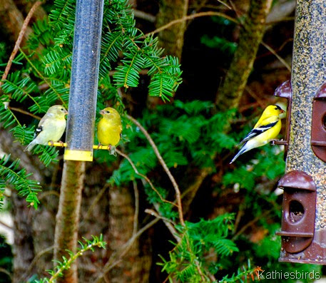7. goldfinches-kab