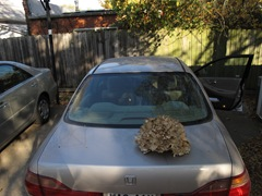 hen of the woods on car