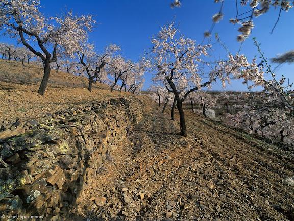 Ametllers i vinyes de Mas d'en Gil, DOQ Priorat, Bellmunt del Priorat, Priorat, Tarragona.2005.03