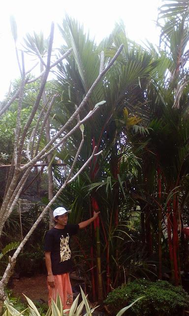 Jual pohon palm merah untuk taman