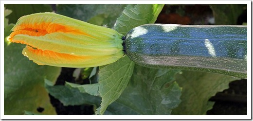 Gold-Rush-summer-squash_03