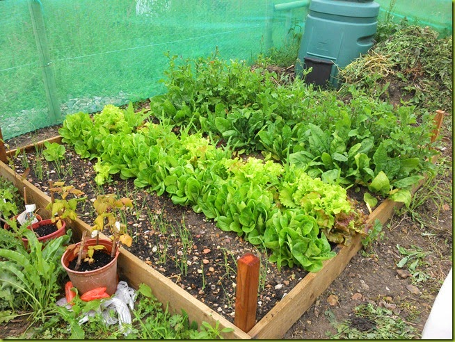 allotment raised salad bed