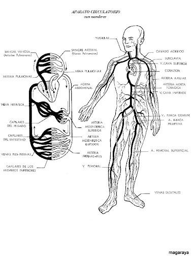 Sistema circulatorio y sus partes para niños para colorear