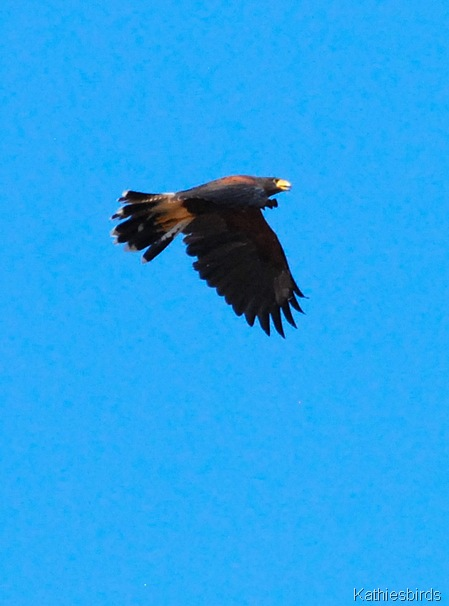 5. Harris hawk-kab