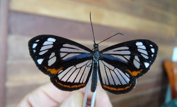 Stalachtis phaedusa zephyritis DALMAN, 1823. Rivière Comté (Guyane), 5 janvier 2012. Photo : C. Chazal