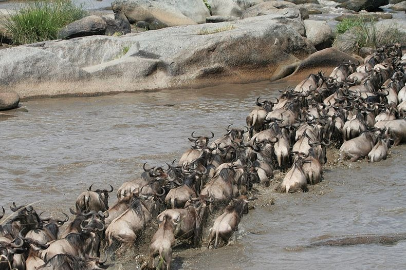mara-river-crossing-1