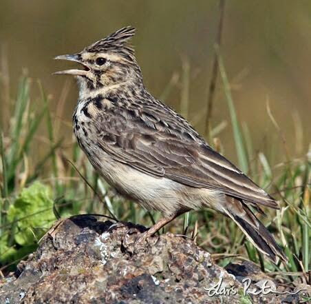 Thekla lark bird song