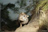 Wildkaninchen
