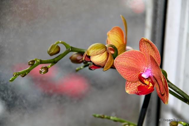 Orhidee 2085.JPG