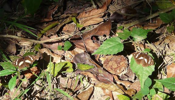 Aterica galene BROWN, 1776, mâles. Bobiri Forest (Ghana), 15 décembre 2009. Photo : J. F. Christensen
