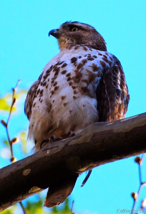 Red-tailed Hawk-kab