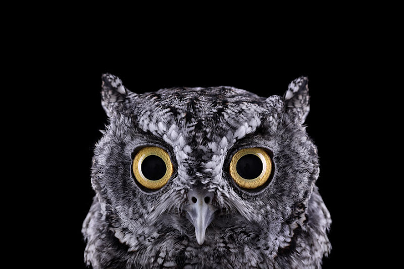 animal-photography-affinity-Brad-Wilson-western-screech-owl-1.jpeg