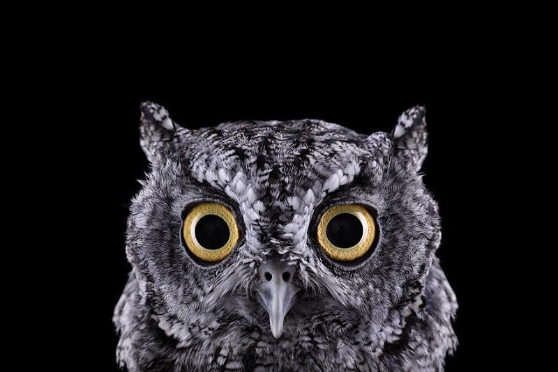 animal-photography-affinity-Brad-Wilson-western-screech-owl-1.jpeg