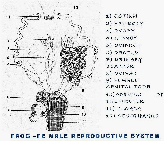 frog reproductive system fish reproductive system. Black Bedroom Furniture Sets. Home Design Ideas