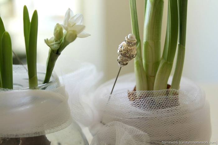 Paperwhites in Jars via homework ~ carolynshomework (12)