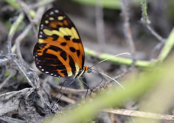 Melinaea mneme mneme, LINNAEUS, 1763. Crique Tortue, près de Saut Athanase (Guyane). 21 novembre 2011. Photo : M. Belloin