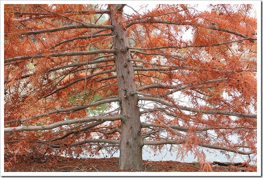 111127_Taxodium-distichum_003