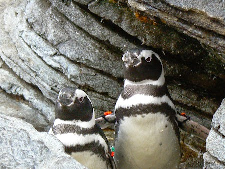 15. Pinguin in Portugalia - la Oceanariu.JPG