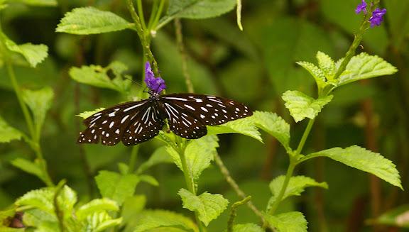 Tirumala septentrionis microsticta BUTLER, 1874. Poring, Sabah (Malaisie), Bornéo, 31 juillet 2011. Photo : J.-M. Gayman